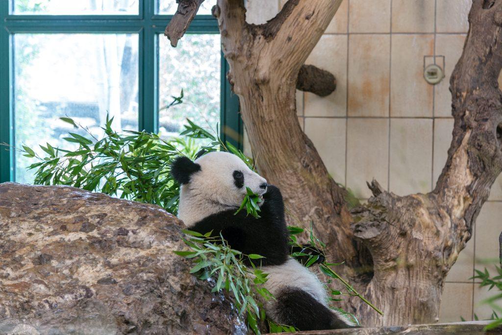 Panda, zoo di Vienna