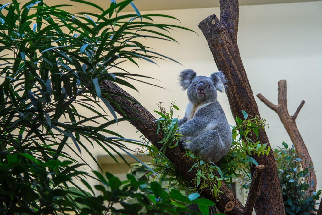 Koala, zoo di Vienna