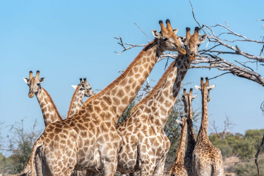 Giraffe, Moremi Game Reserve