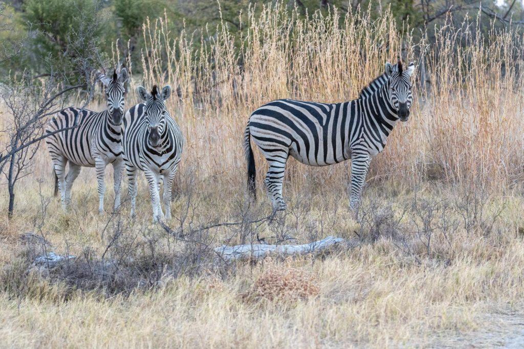 Zebre, Moremi Game Reserve