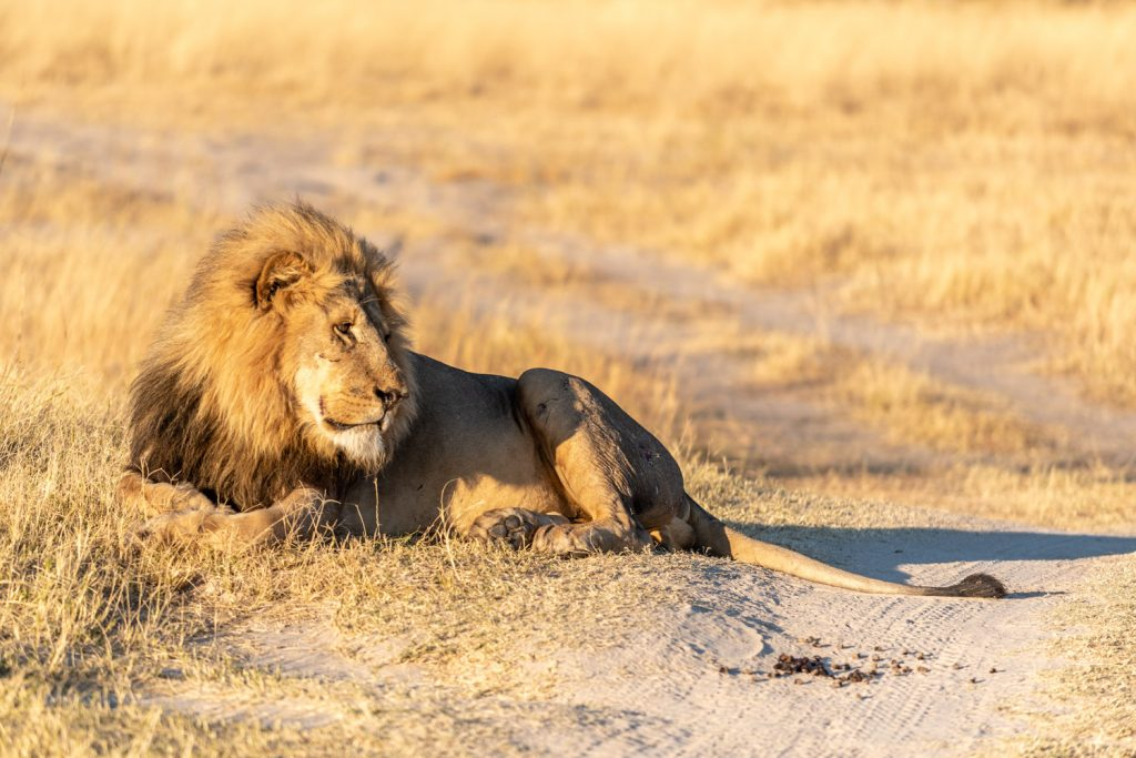 The King, Moremi Game Reserve
