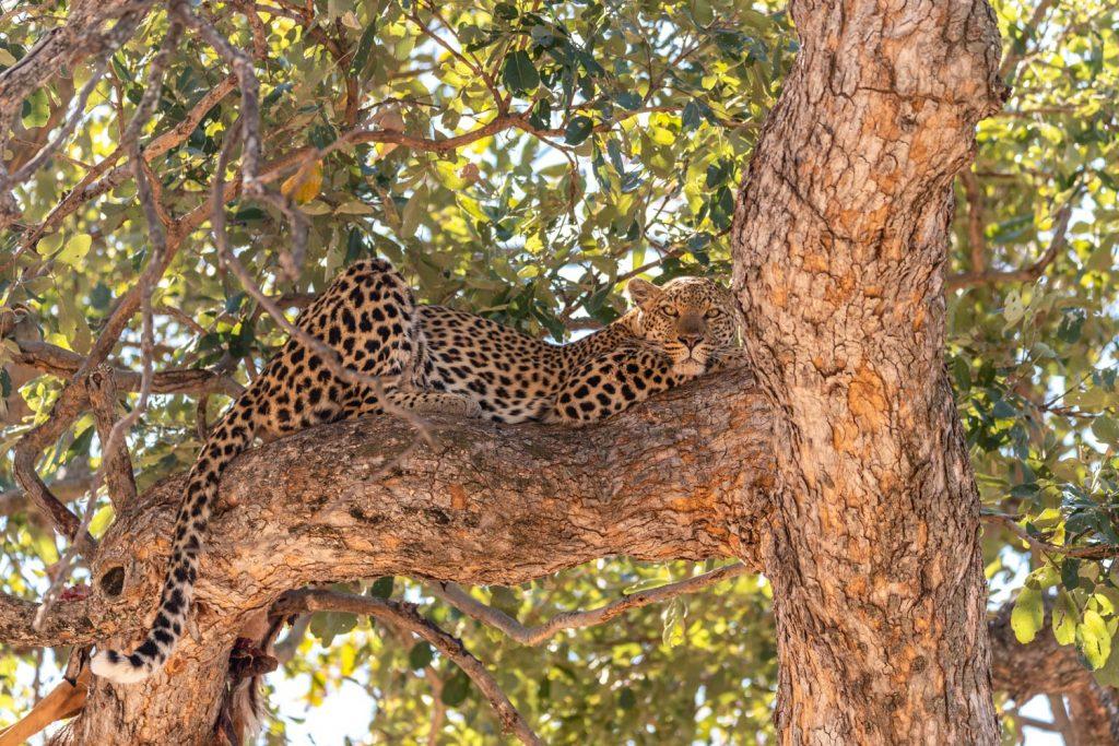 Leopardo, Moremi Game Reserve