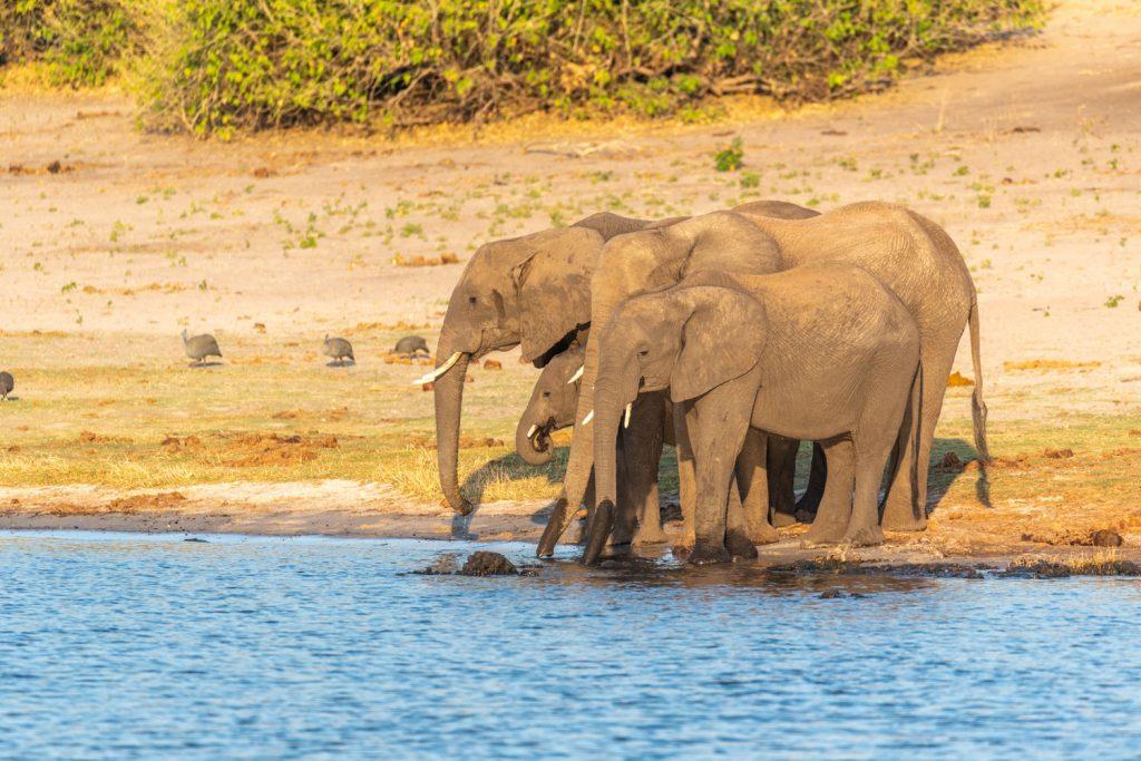 Elefanti, Chobe River Front