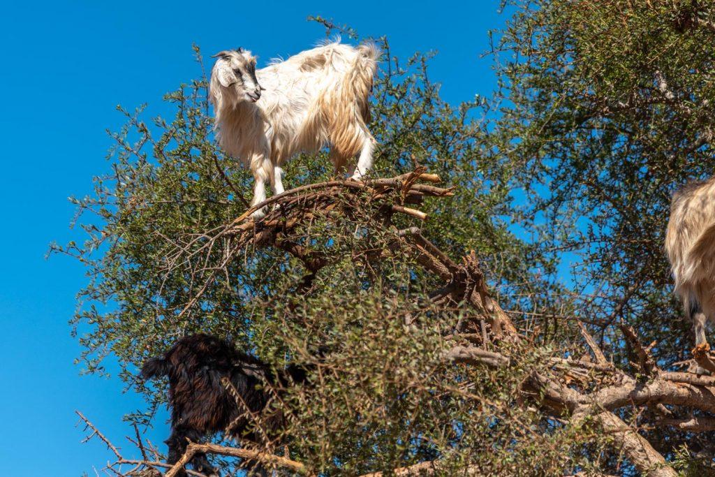 Marocco, albero di argan